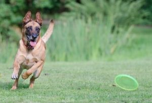 Dog Running After Frisbee.