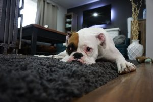 Sad boxer dog on rug.