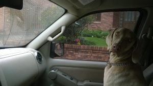 Dog sitting in the front seat of a car.