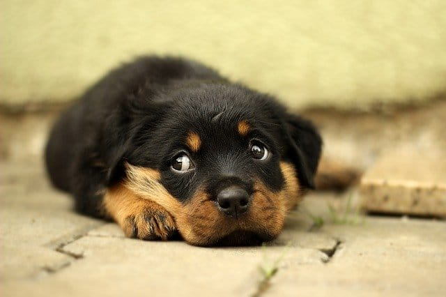 Adorable rottweiler puppy.