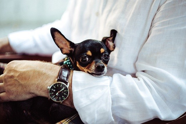 Young chihuahua in business man's arms.