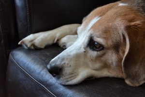 Beagle on black leather couch.