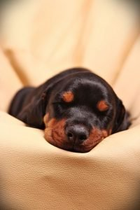 doberman puppy sleeping