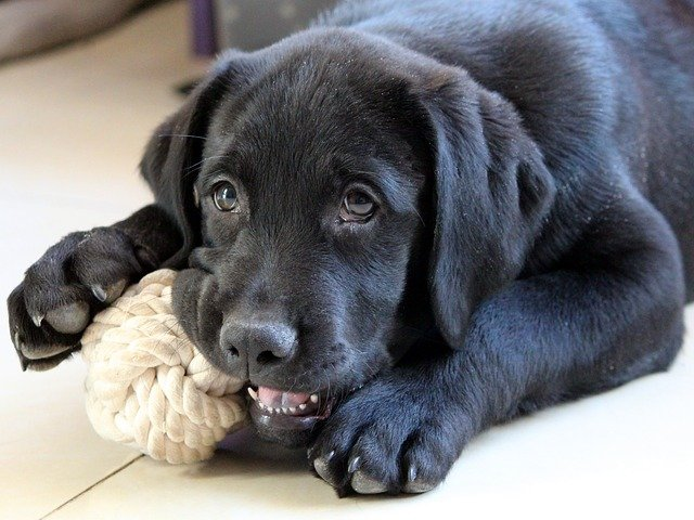 Young black labrador chewing on a knot ball.