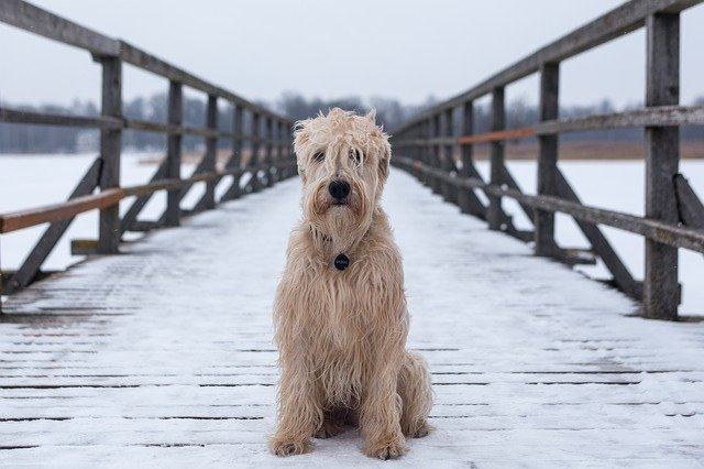 Shaggy white dog on snowy bridge.