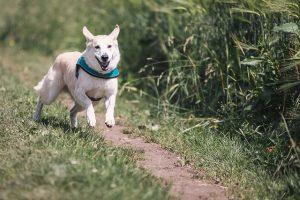 Dog running along dirt path.