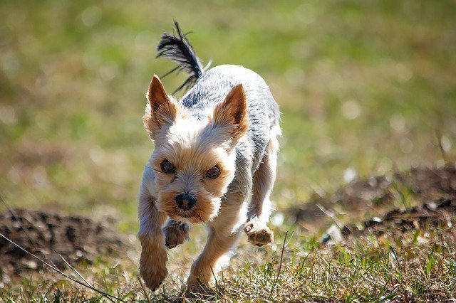 Small dog running in a field.