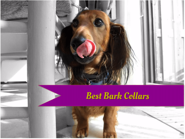 Featured image: a dachshund licking its nose.