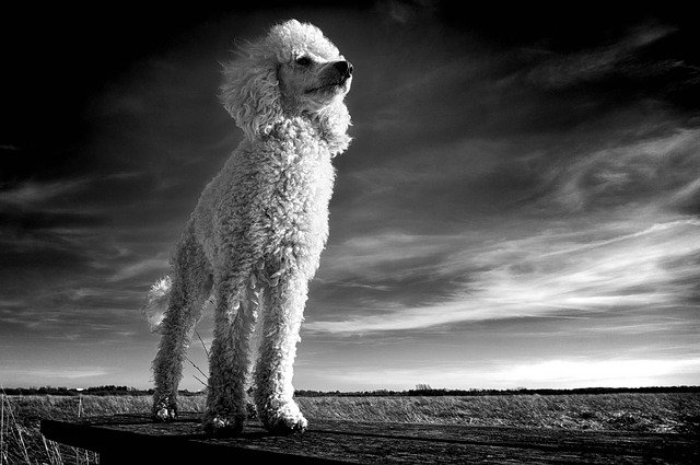 Poodle standing tall.