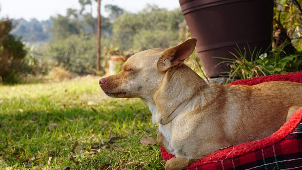 Chihuahua with eyes closed.