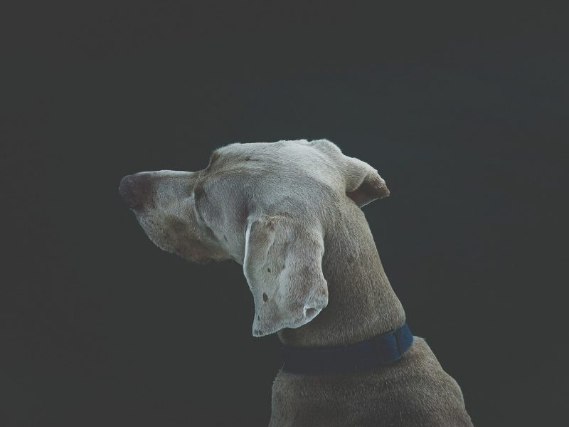 Dog looking off to distance.