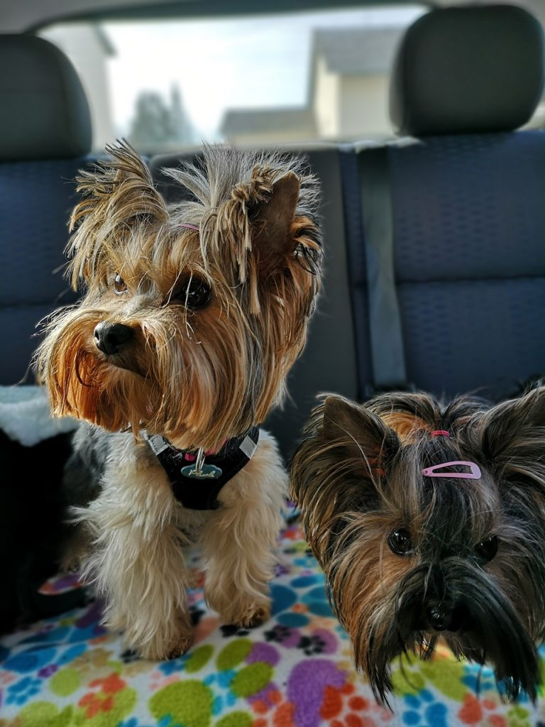 Two Yorkshire terriers in a car.