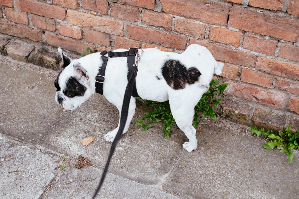 Dog peeing on wall.