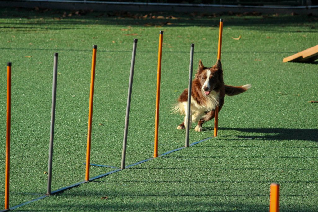 Dog on obstacle course.