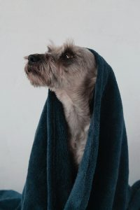 Dog with towel.