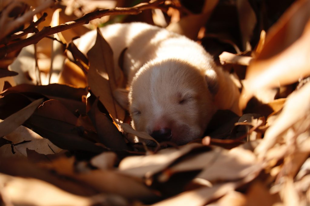 Puppy sleeping on leaves.