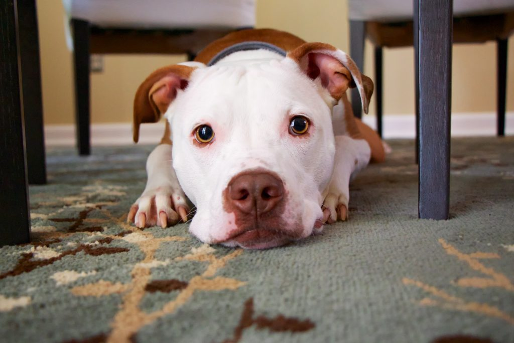 Dog lying under a table.