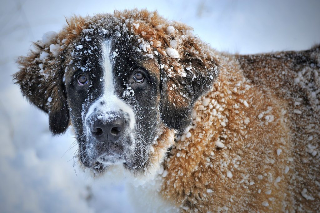 A dog covered with snow.
