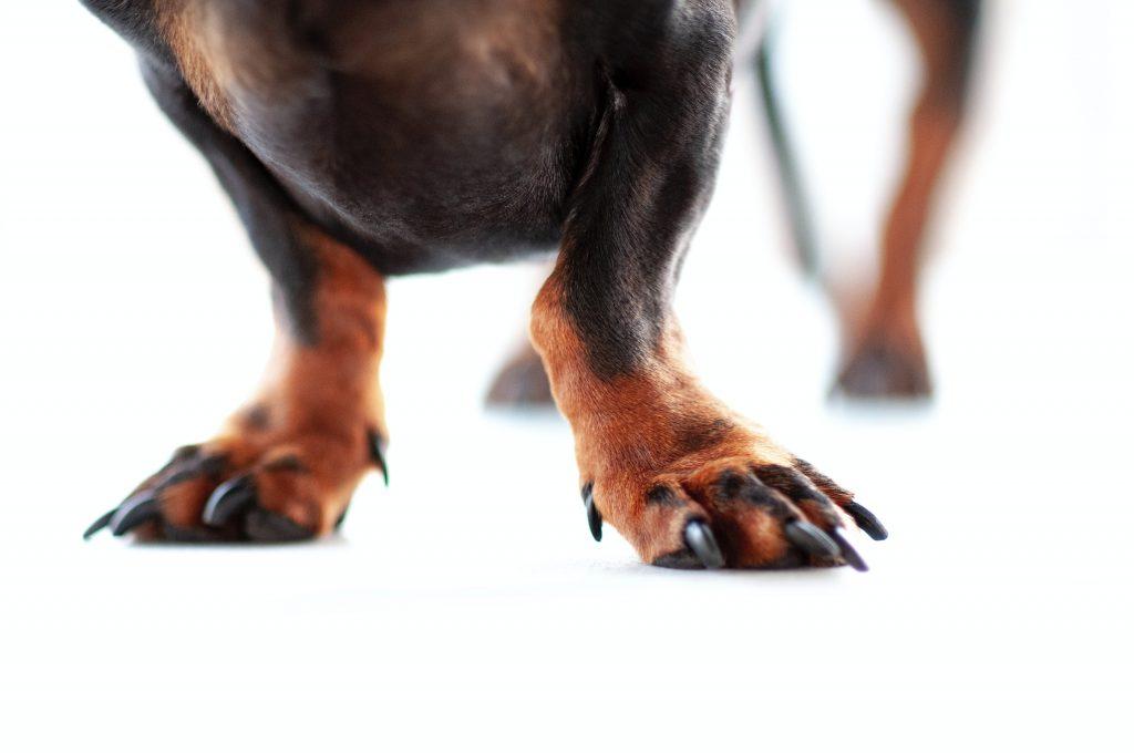 Dog feet with dewclaw.