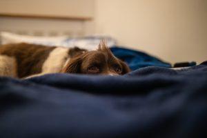 Dog on blue bed.