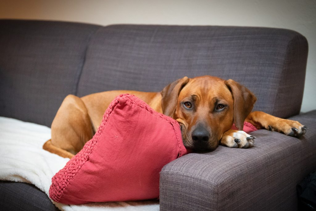 Brown dog lying on a couch.