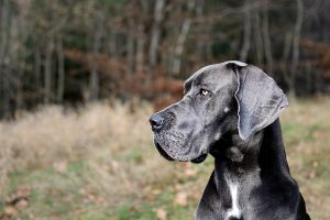 Great Dane.