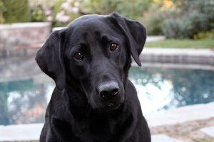 Labrador Retriever.