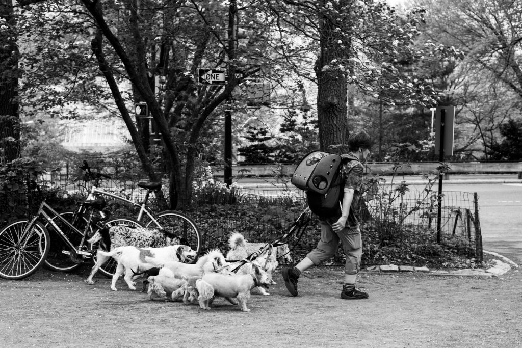 Man walking with many dogs.