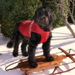Portuguese Water Dog .