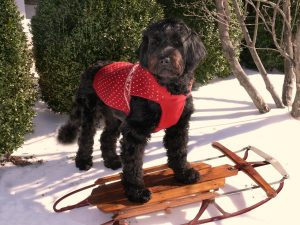 Portuguese Water Dog.