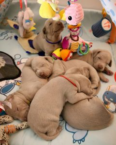 Puppies sleeping in a crate.
