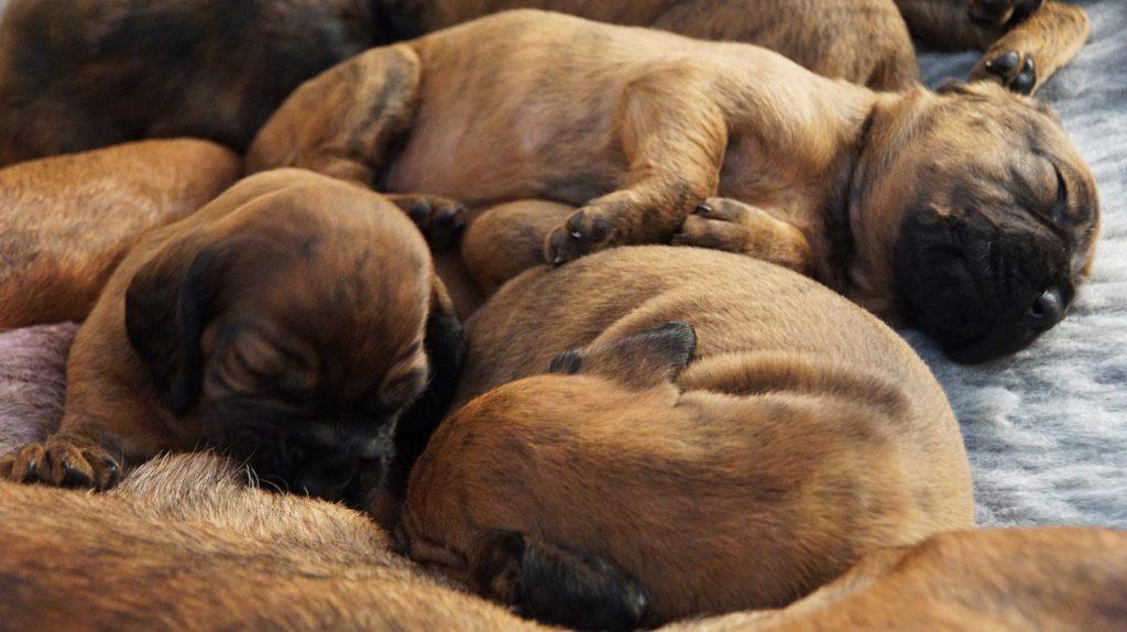Sleeping puppy litter.