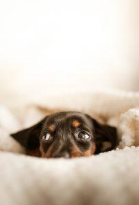 Black dog in a blanket.