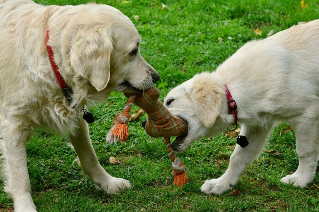 Two dogs doing tug of war with toy.