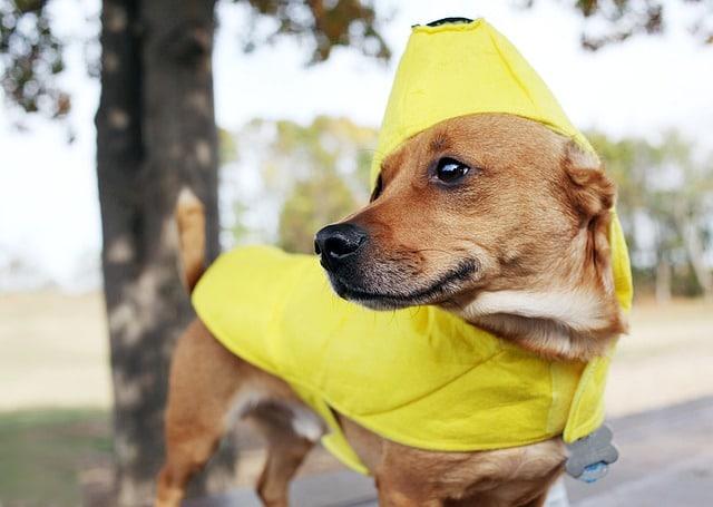 Dog in banana costume.