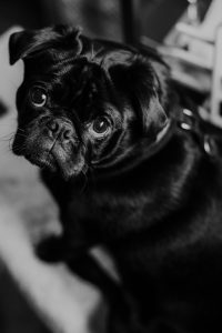 Grayscale guilty-looking pug.