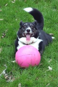 Dog with a pink ball.