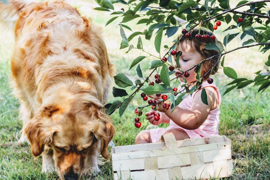 A child and dog picking cherries.