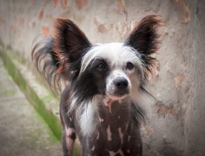 Chinese Crested Dog.