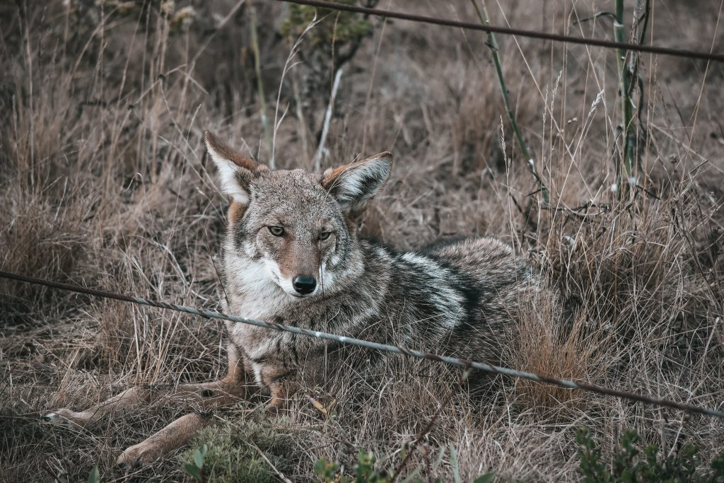 Coyote by a wire fence.