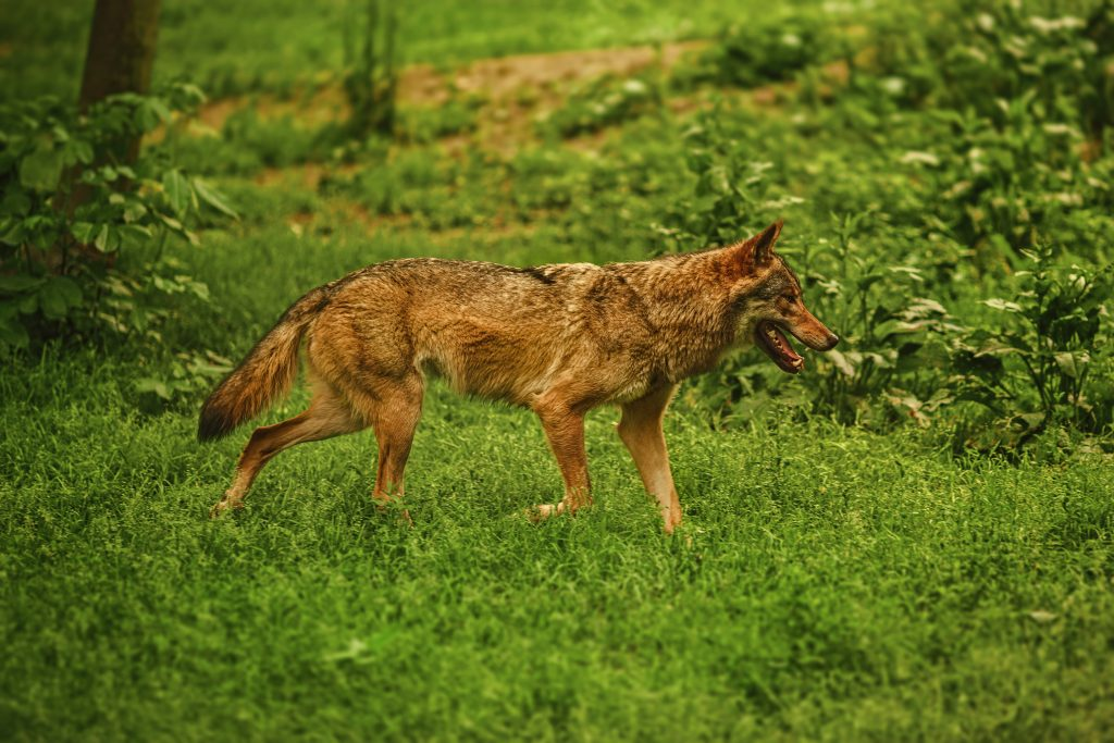 Coyote walking on grass.
