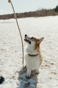 A dog with leash looking up and alert.
