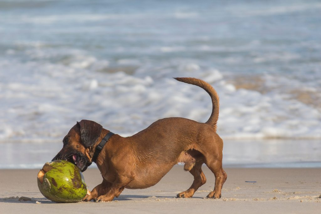 A dog biting on a coconut.