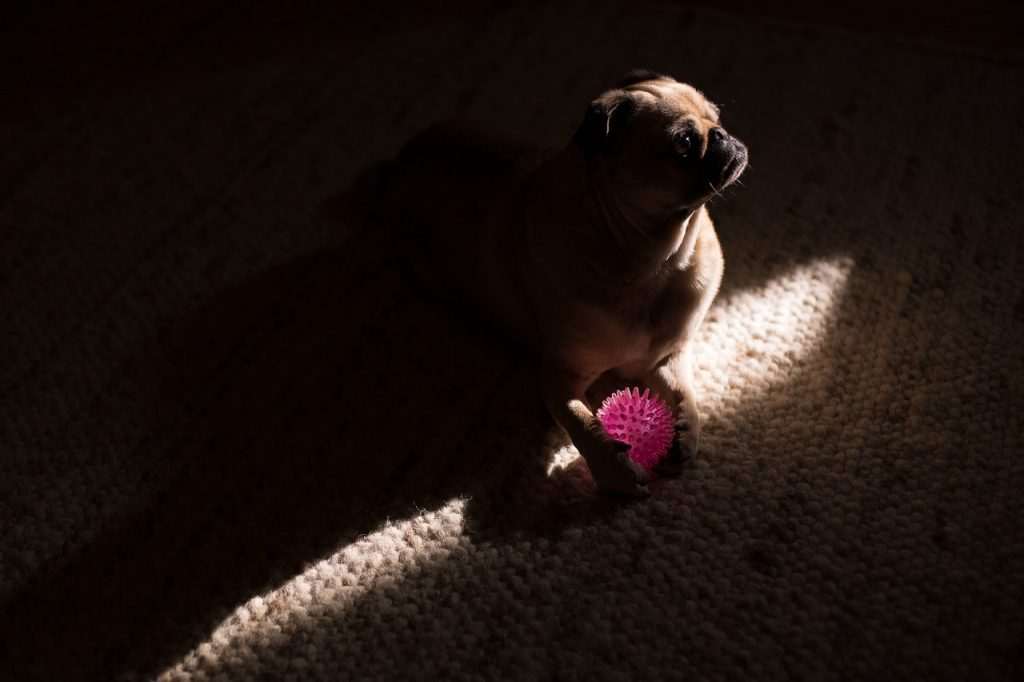Dog in a dark room with toy.