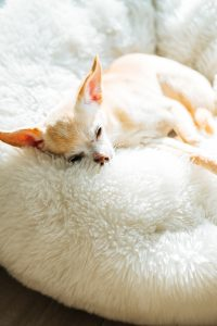 Chihuahua sleeping on soft textile.