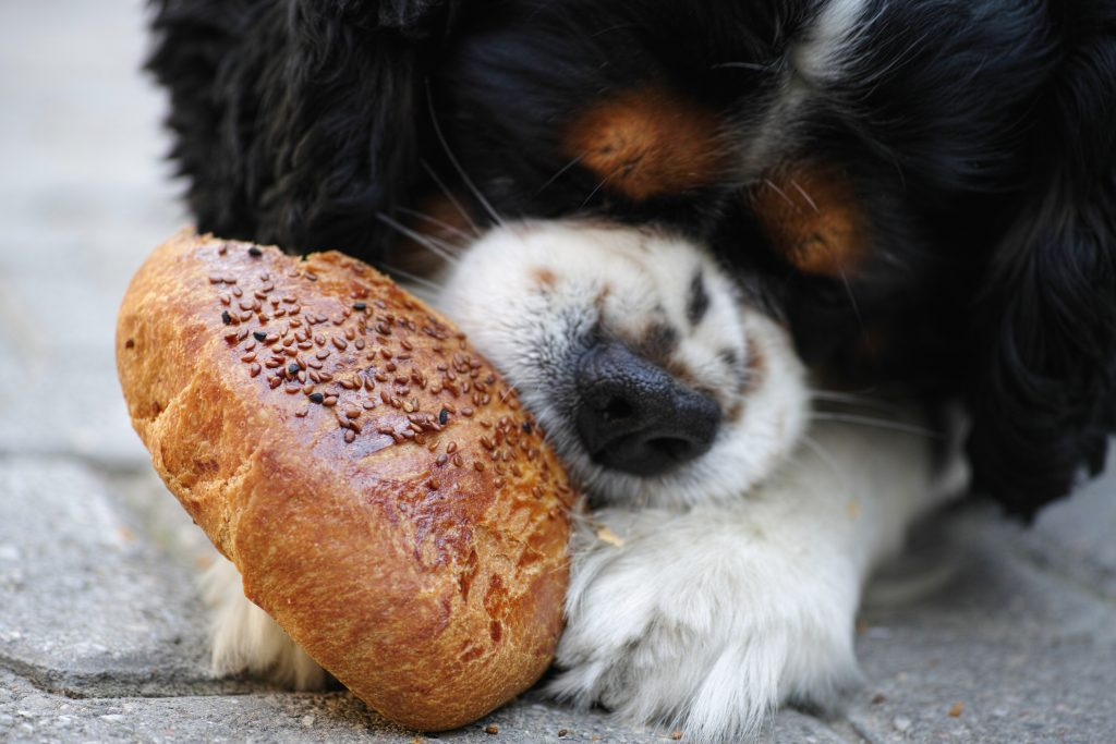 A dog chewing on bread.