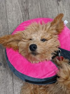 A dog wearing a traveling pillow.
