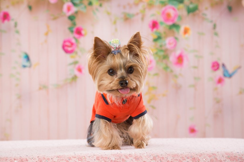 Dressed up Yorkie with tongue out.