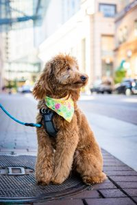 Goldendoodle with scarf on leash.
