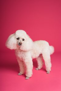 Poodle with modern cut.